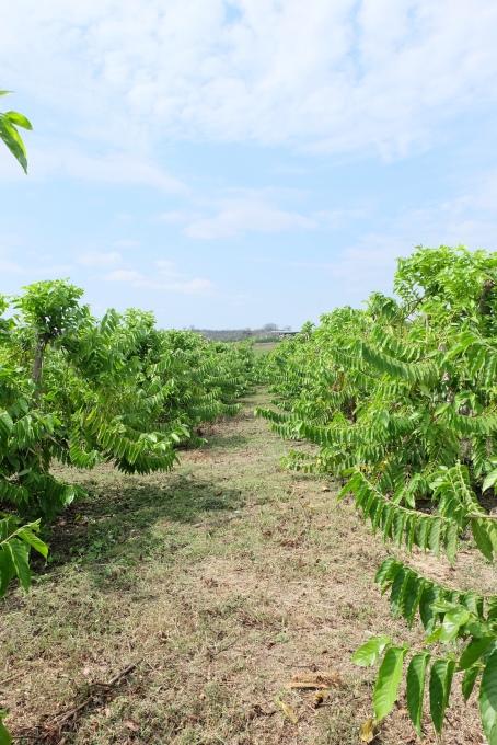 Ylang Ylang field
