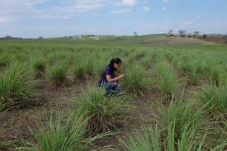 Lemongrass plantation