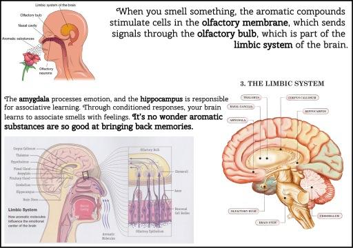 olfactorysystem (1)